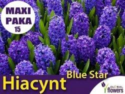 MAXI PAKA 15 szt Hiacynt Wschodni 'Blue Star' (Hyacinthus) CEBULKI