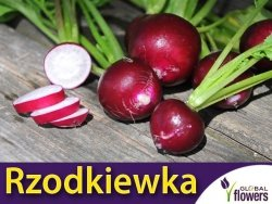 Rzodkiewka MALAGA FIOLETOWA (Raphanus sativus) nasiona 5g
