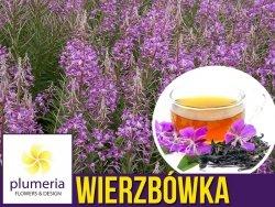 Wierzbówka kiprzyca - Rosyjska Herbata (Epilobium angustifolium) C1