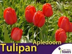 Tulipan Darwina 'Apledoorn' (Tulipa) CEBULKI 5 szt