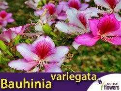 Drzewo Storczykowe (Bauhinia variegata) 6g