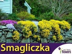 Smagliczka Skalna (Alyssum saxatile)żółta nasiona