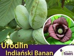 Urodlin trójłatkowy (Asimina triloba) 'Indiański Banan' Sadzonka