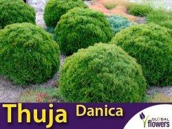 Tuja Żywotnik zachodni 'Danica' (Thuja occidentalis) Sadzonka