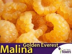 Malina żółta Golden Everest (Rubus idaeus) Sadzonka