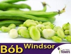 Bób Windsor Biały (Vicia faba) opakowanie XXL 5kg