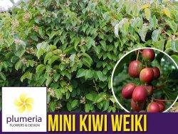 Mini Kiwi WEIKI ♀ żeńska (Aktinidia ostrolistna) Sadzonka C1