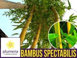 Bambus Drzewiasty SPECTABILIS Mrozoodporny (Phyllostachys aureosulcata) Sadzonka XL-C5