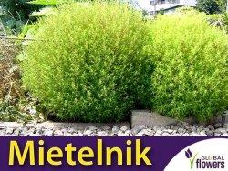 Mietelnik (Kochia Scoparia) nasiona 1g