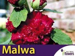 Malwa pełna (Alcea rosea) Purple Dark KŁĄCZA 1 szt