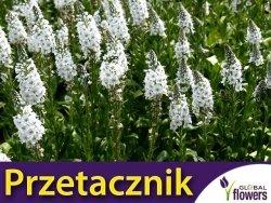 Przetacznik kłosowy ALBA (Veronica spicata) Sadzonka P9