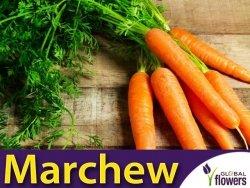 Marchew Amsterdam 2 Wczesna (Daucus carota) L 50g