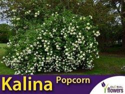 Kalina japońska 'Popcorn'  (Viburnum plicatum) sadzonka
