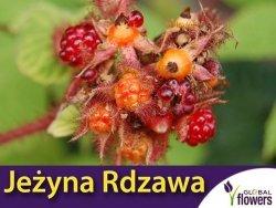 Jeżyna rdzawa 'Japanese Vineberry' (Rubus Phoenicolasius) doniczkowana Sadzonka