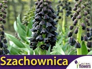 Czarna Szachownica PERSKA (Fritillaria persica) CEBULKA 1 szt