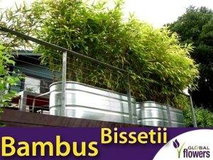 Zielony Bambus Drzewiasty BISSETII Mrozoodporny (Phyllostachys) Sadzonka C2,5