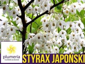 Styrak Japoński (Styrax japonicus) Sadzonka XL-C6 80-100cm