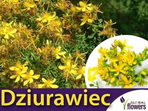 Dziurawiec zwyczajny (Hipericum perforatum) Sadzonka