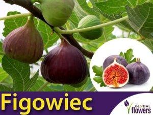 Figowiec Gustissimo Peretta® (Ficus carica) Sadzonka C3