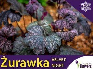 Żurawka 'Velvet Night' (Heuchera) Sadzonka