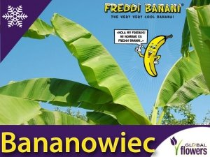 RARYTAS ! Mrozoodporny Bananowiec Freddi Banani (musa basjoo) sadzonka