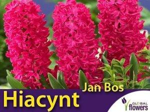 Hiacynt Wschodni 'Jan Bos' (Hyacinthus) CEBULKI 2 szt.