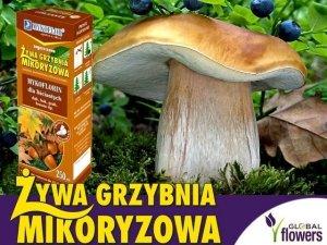 Grzybnia Grzyby Leśne Drzew Liściastych Mikoryza 250ml