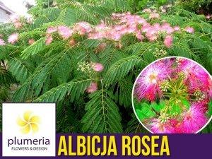 Albicja - Jedwabne Drzewko (Albicja Rosea) Sadzonka XXL-C6 110-140 cm