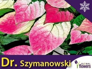 Mini Kiwi DR SZYMANOWSKI ⚥ (Aktinidia pstrolistna) Sadzonka C1