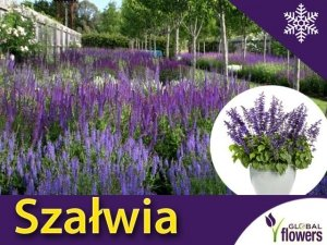 Szałwia omszona 'April Night' (Salvia nemorosa) Sadzonka