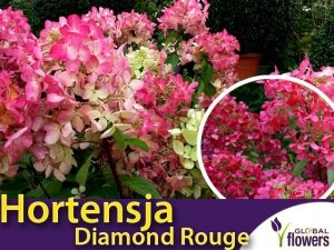 Hortensja bukietowa 'Diamond Rouge ®' (Hydrangea paniculata) sadzonka