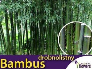 Bambus Mrozoodporny Drobnolistny Gigant (Phyllostachys parvifolia) Sadzonka C2,5