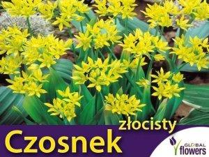 Czosnek złocisty (Allium Moly) CEBULKI 10 szt