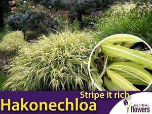 Hakonechloa macra STRIPE IT RITCH - Bambusowa trawa- Sadzonka C1