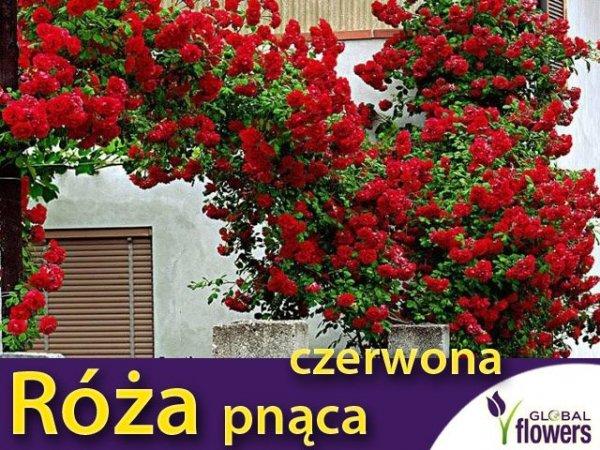 roza pnąca czerwona sadzonka