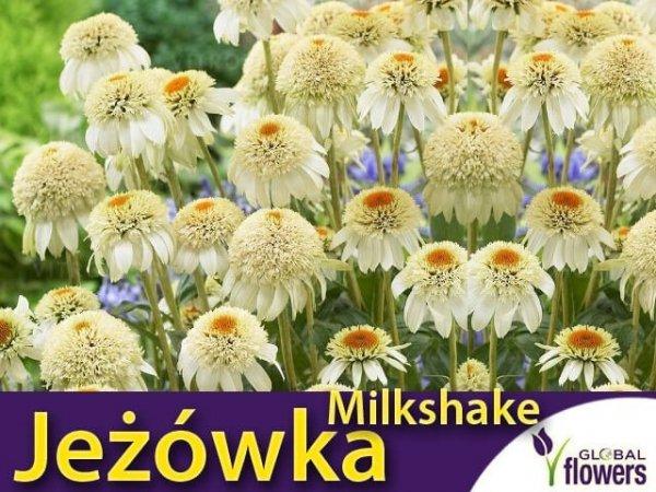 jeżówka echinacea milkshake