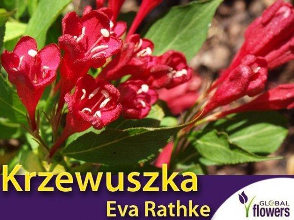 Krzewuszka 'Eva Rathke' (Weigela 'Eva Rathke') Sadzonka