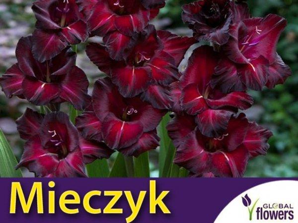 Mieczyk wielokwiatowy (Gladiolus) cebulki sklep