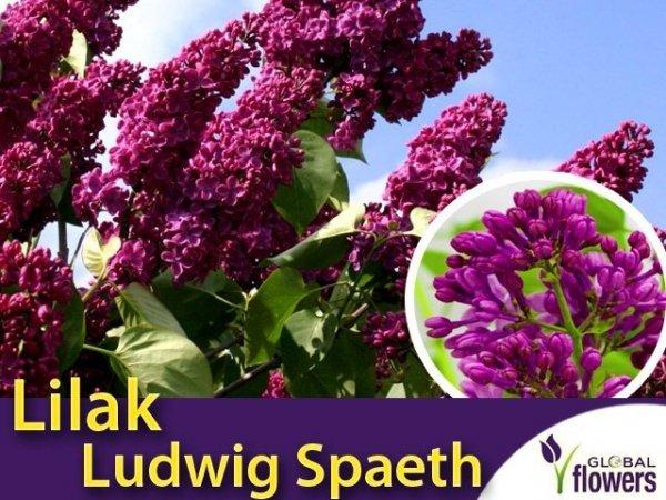 Lilak Pospolity 'Ludwig Spaeth' (Syringa vulgaris 'Souvenir de Louis Späth') Sadzonka