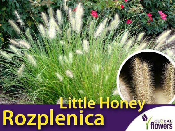 Rozplenica japońska 'Little Honey' (Pennisetum alopecuroides) - Sadzonka