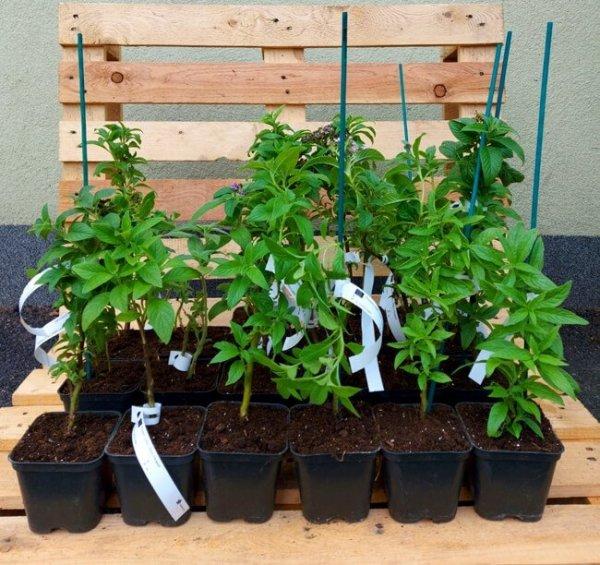 Heliotrop Waniliowy niska cena roślina waniliowy zapach