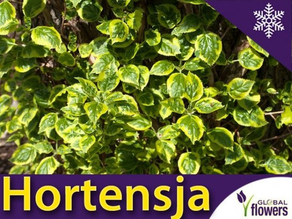 Hortensja pnąca 'Mirranda' (Hydrangea anomala) Sadzonka