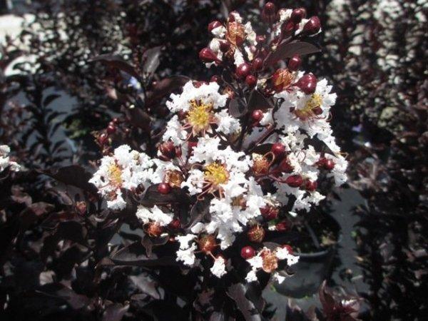 Lagerstroemia sadzonki ciemne liście