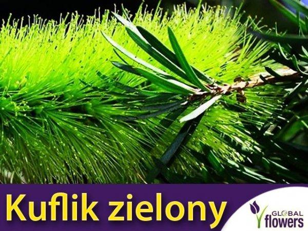 Kuflik zielony (Callistemon pinifolius filaments green)