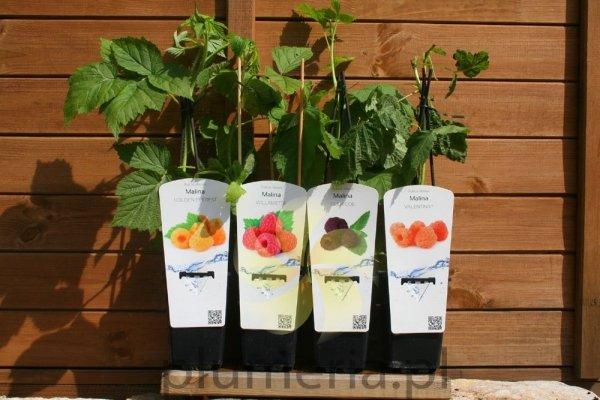 Malina Pokusa Powtarzajaca owocowanie sadzonki