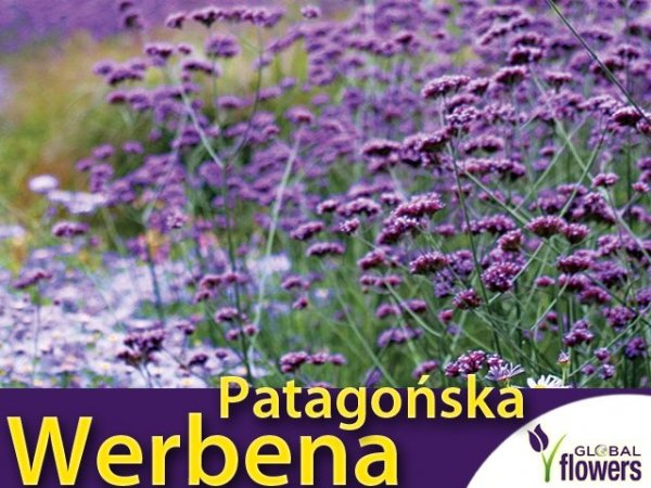 poszukiwana bylina Werbena patagońska liliowa