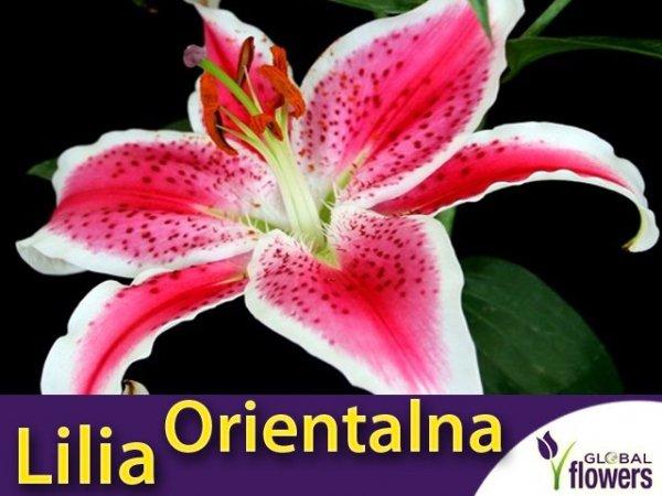 Lilia Orientalna (lilium) Star Gazer