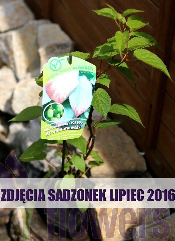 Aktinidia o pięknie wybarwiających się liściach