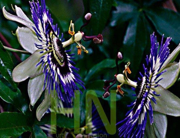 Oryginalne kwiaty Passiflory