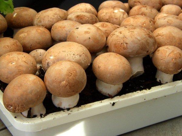 Pieczarka brązowa 10kg - gotowy zestaw do uprawy